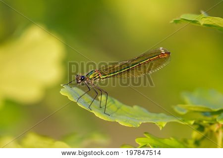 Closse Up Of Green Iridescent Female Banded Demoiselle (calopteryx Splendens) Perched On Oak Leaf