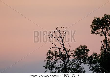 Silhouette Of Corvid Birds Roosting In Trees At Dusk After Sunset Against Pink Sky