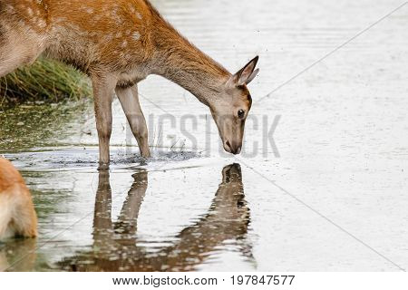 Red Deer Calf (cervus Elaphus) Drinking And Looking Into Stream Or River Reflection
