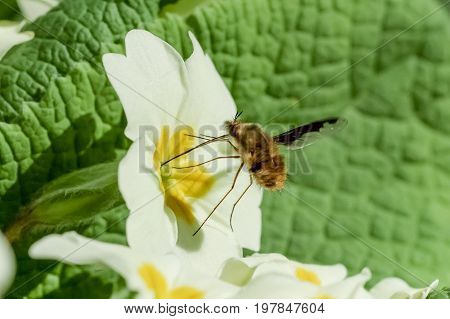 Bee-fly Beefly (Bombylius major) nectaring or drinking from Primrose (Primula vulgaris)