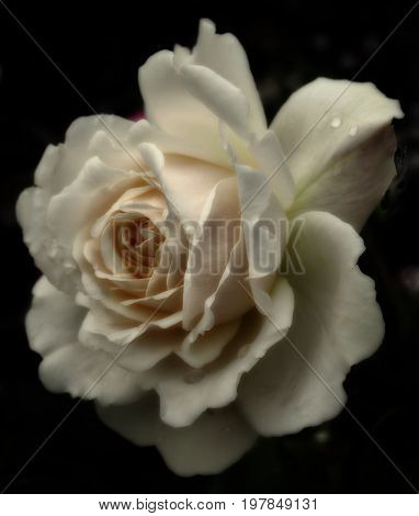 a single cream colored sepia tinted rose with raindrops in close up on a black background