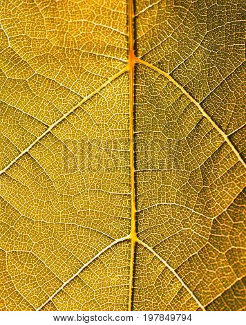 Grape leaves texture leaf background  green under sunlight macro closeup