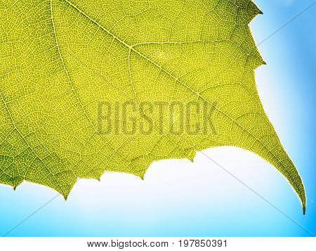 Leaves texture leaf background  green under sunlight macro closeup