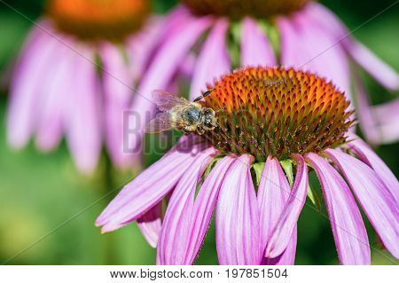a honey bee pollinating the purple Echinacea flower. Closeup view