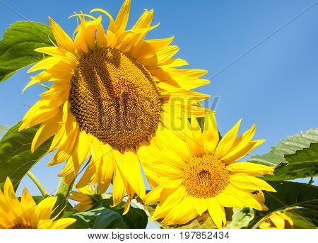 Sunflower In Blossom. Sunflowers Close Up.