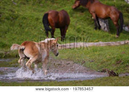 Young cute foal outdoor in the water