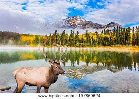 The concept of ecological tourism. Cool autumn morning in the Rocky Mountains. Noble deer with branched horns grazing by Pyramid lake and Pyramid Mountain