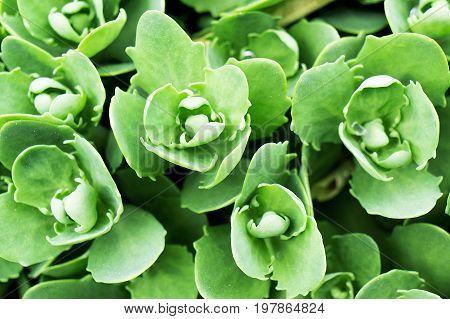 spurge leaf plant green nature leaf background