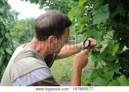 Gardener inspects grape leaves with magnifying glass in search of pests and diseases. On leaves there are blisters from grape tick and damages.