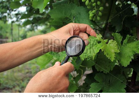 Gardener inspects grape leaves with magnifying glass in search of pests and diseases. On leaves there are blisters from grape tick. Close up.