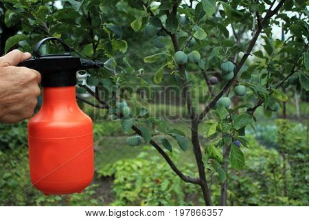 Gardener sprinkles young plum tree from pests and diseases with bottle sprayer. He holds sprayer in his hand. Spray fly on leaves and plum fruit.