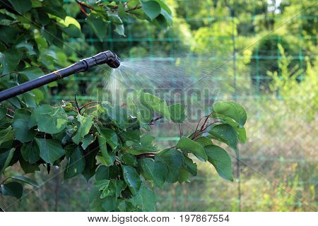 Spraying apricot tree against pests and diseases with garden hand sprayer. Closeup.