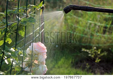 Spraying rose shrub against pests and diseases with garden hand sprayer. Closeup.