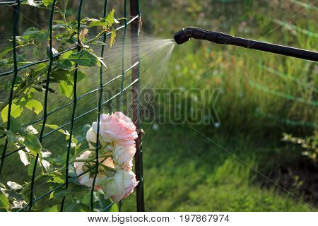 Spraying rose shrub against pests and diseases with garden hand sprayer.