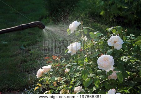 Spraying white rose shrub against pests and diseases with garden hand sprayer. Closeup.