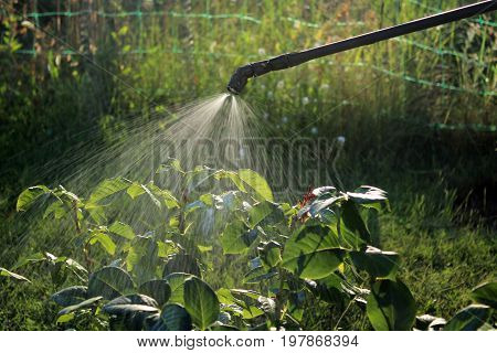 Spraying rose shrub against pests and diseases using sprayer. Closeup.