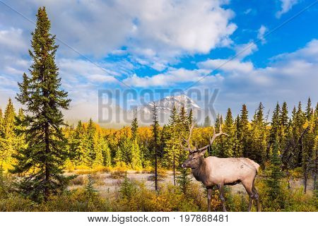 Cool autumn morning in the Rocky Mountains. Noble deer with branched horns grazing by the lake and Pyramid Mountain. The concept of ecological tourism