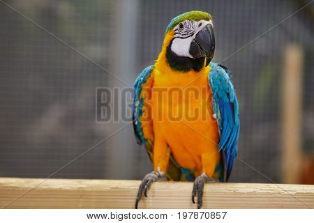 Blue and Gold Macaw - Big Parrot. (Ara ararauna), also known as the blue-and-gold macaw, is a large South American parrot with blue top parts and yellow under parts.
