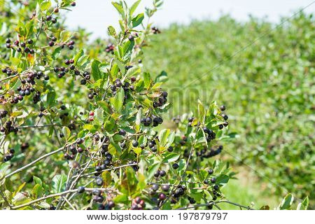Aronia (chokeberries) shrubs growing in a field