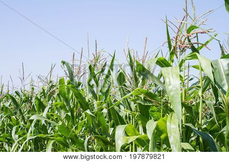 Corn growing on a field in close up