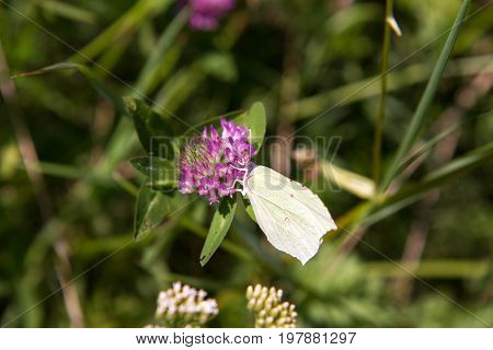 Gonepteryx rhamni (known as the common brimstone) on a flower