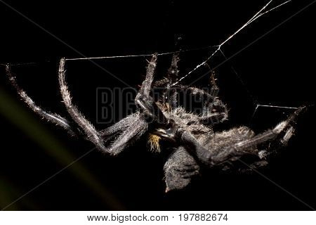 The big spider on the fiber, with the backdrop, leaves during the night.