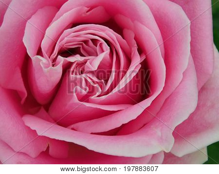 Close-up of a beautiful varietal pink rose