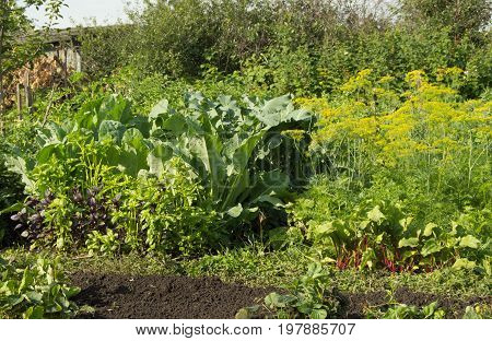 Fresh Vegetables That Grow In The Garden Beet, Cabbage, Basil, Dill - Useful Vegetables For A Health