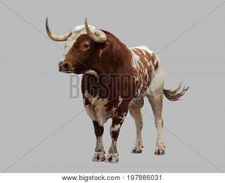 Bull large on isolated gray background .