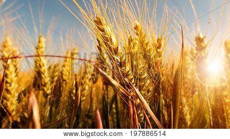 Close up of ripe cornfield in the late summer sun