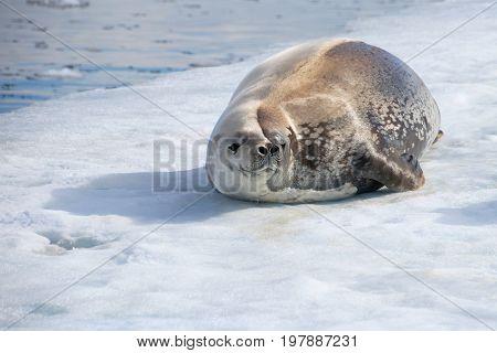 Crabeater seal on ice floe, Antarctic Peninsula, Antarctica