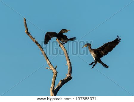 Two Juvenile Cormorants On A Tree