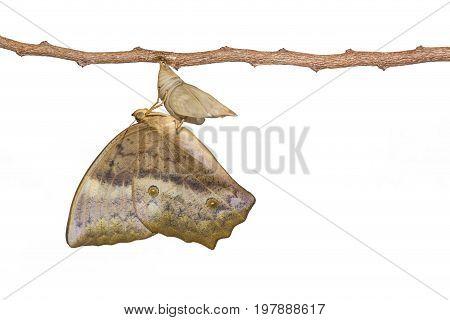 Isolated Emerging Of Common Duffer Butterfly ( Discophota Sondaica Boisduval ) From Chrysalis Hangin