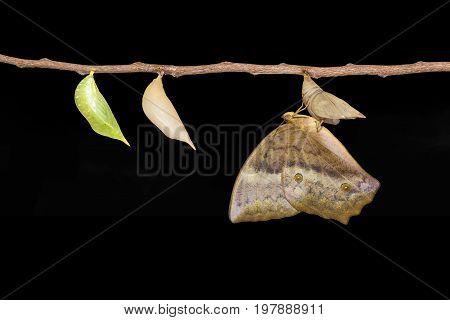 Emerging And Chrysalis Of Common Duffer Butterfly ( Discophota Sondaica Boisduval ) From Chrysalis H
