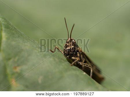 Grasshopper sitting on a large cabbage leaf
