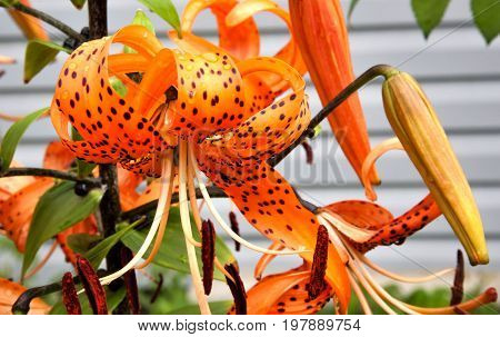 Orange Tiger Lily With Raindrops