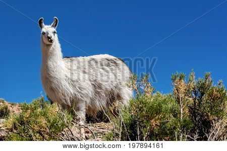 Alpacas neer Salar de Uyuni in Bolivia