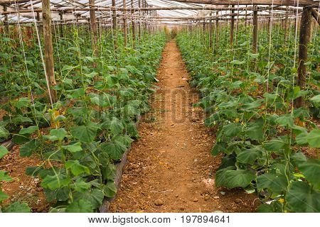 Cucumbers Growing In Film Greenhouses. The Rapid Growth In Summer. Agriculture