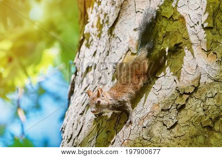 Squirrel Comes Down by the Trunk of an Old Platan
