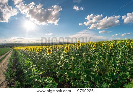 Field of sunflowers on a summer day, a fish-eye landscape, with lens flare.