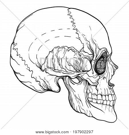 Human skull realistic hand drawing isolated Stock line vector illustration. Outline drawing.