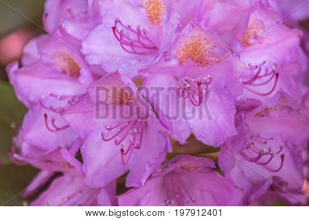 Natural view of colorful pink azalea flowering in the garden under natural sunlight at sunny summer or spring day. Close up pink azalea flowers background in morning nature