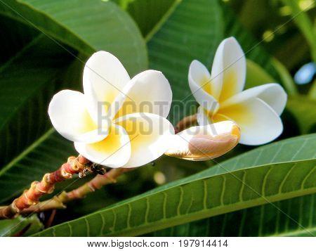 Two white Frangipani flowers in Or Yehuda Israel