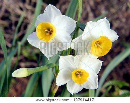 Beautiful Narcissus flowers in Or Yehuda Israel