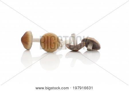 Fresh psilocybine mushrooms isolated on white background. Alternative medicine natural remedy. Microdosing.