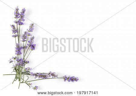 Lavender plant on white background top view with copy space. Aromatic herbs.