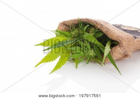 Cannabis plant in burlap bag isolated on white background. Alternative medicine natural remedy.