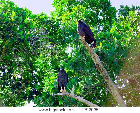 View of eagles in a tree in Rio Lagartos Mexico