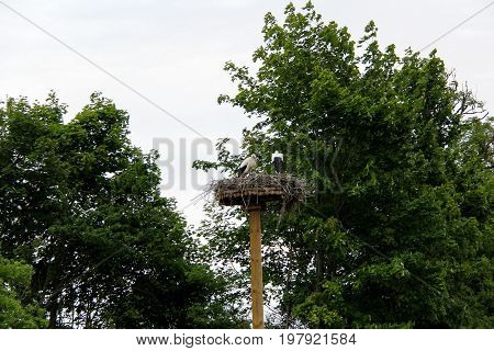 white Stork nest and two young storks