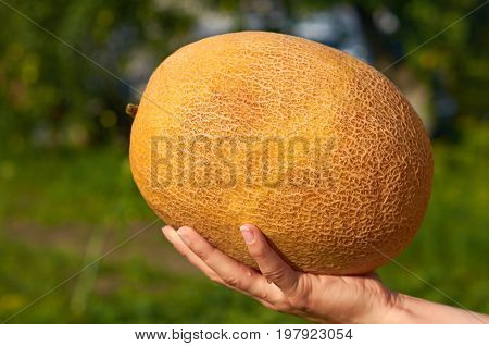 Orange Melon Rests In The Hands Of The Girl That Just Got Her From The Garden. The Concept Of Rural